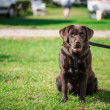Stock Photo: Chocolate Labrador