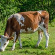 Dairy cow — Stock Photo #35189953