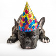 Party Dog — Stock Photo