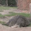 Ostrich - Foto de Stock  