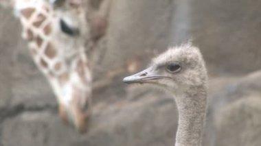 Ostrich and Giraffe — Stock Video