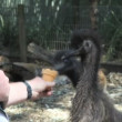 Stock Video: Emu picking