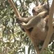 Australian Koala Bear — Stock Video #19595263