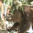 Australian Koala Bear — Stock Video