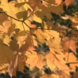 Fall colors — Stock Video