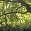 Stok video: Tree and green leaves