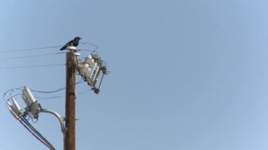 Raven on a power pole — 图库视频影像