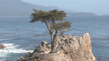 Lone cypress on a rock — Stock Video