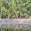 Birds at waterhole drinking and Swimming — Stock Video #43112603