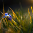 Little blue viola wild flower in sunset - Stock Photo