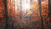 Foresta d'autunno nel tramonto — Foto Stock