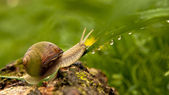 Snail and water drops — Stock Photo