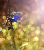 Amazing blue butterfly in sunset — Foto de Stock