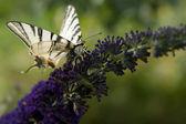 Farfalla sul fiore selvaggio viola. — Foto Stock