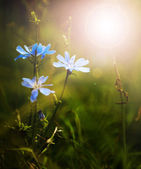 Blue wild flowers in sunset — Stock Photo