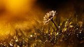 Wild flower in sunset — Stock Photo