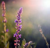 Beautiful purple wild flower in sunset — Stock Photo