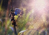 Blue butterfly in rain and sunset — Stock Photo