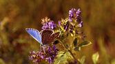 Beautiful blue butterfly in sunset — Stock Photo