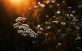 Lots of white wild flowers in sunset — Stock Photo