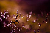 Frosted wild flower in sunset at winter — Stock Photo