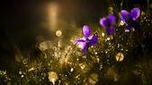 日没の紫色ヴィオラ野生の花 — ストック写真