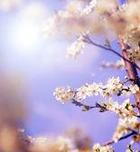 Vita träd blommor under våren — Stockfoto