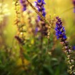 Blue wild flowers in sunset. Wide 16:9 photo - Stock Photo
