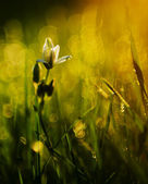 日没の美しい白い野生の花 — ストック写真