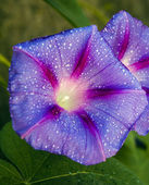 Beautiful flower with water drops — Stock Photo
