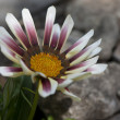 Stock Photo: White and pink flower