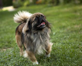 Pekingese dog — Stock Photo