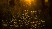 Wild flowers in sunset — Photo