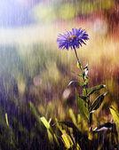 Hermosa flor silvestre en lluvias torrenciales — Foto de Stock