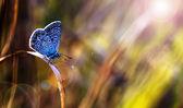 Hermosa mariposa azul en puesta de sol — Foto de Stock