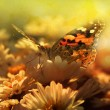 Butterfly in sunset — Stockfoto