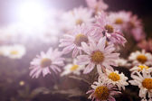 Lots of white flowers in sunset — Stock Photo