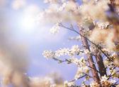 Fleurs blanc arbre au printemps — Photo