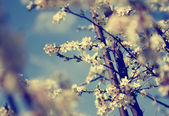 Vintage photo of cherry tree flowers with blue sky — Stock fotografie