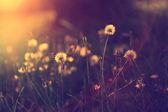 Vintage foto löwenzahn feldes im sonnenuntergang — Stockfoto
