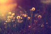 Vintage photo of dandelion field in sunset — Stock fotografie
