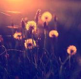 Ročník fotografické pampeliška pole v západu slunce — Stock fotografie
