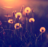 Vintage photo of dandelion field in sunset — Stok fotoğraf