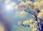 Vintage photo of cherry tree flowers with blue sky — Stock Photo