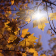 Yellow autumn leaves and blue sky — Stock Photo