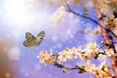 Butterfly and cherry tree flower in spring — Stock Photo