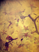 Cherry tree flower — Stock Photo