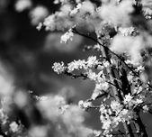 Flor de cerejeira vintage. foto de estilo antigo das flores da árvore com padrão de papel velho grunge. — Foto Stock