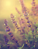 Beautiful purple wild flowers in sunset — Stock Photo