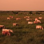 Cow herd in sunset — Stock Photo